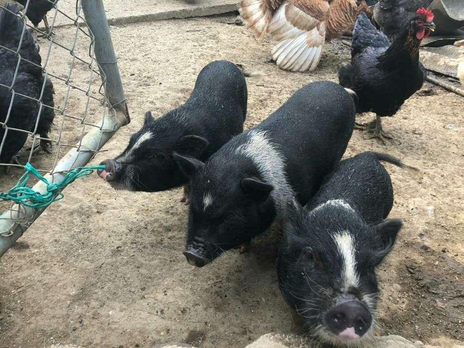 Cerdos Minipic Llamar Al 3108390651