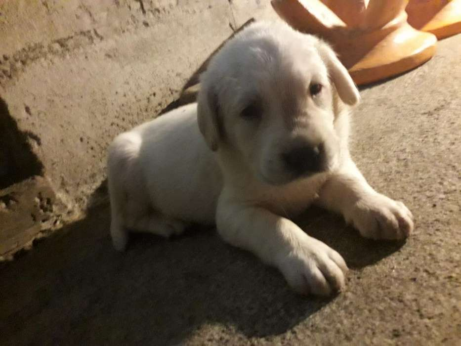 Hermoso Cachorro Labrador