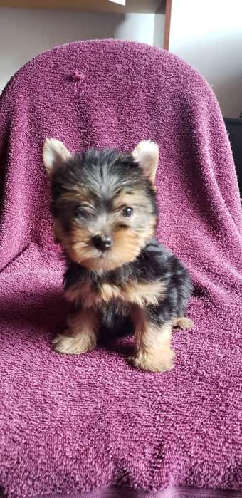 CALI YORKSHIRE <strong>terrier</strong> MINIATURA