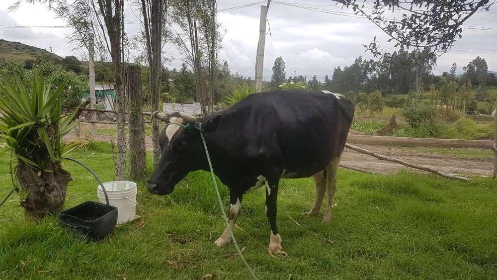 VENDO <strong>vaca</strong> preñada