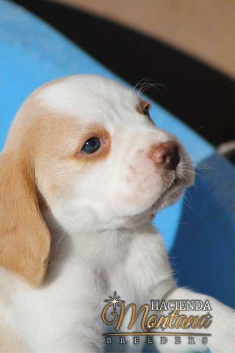 CACHORROS <strong>beagle</strong> LIMÓN / ¡EXCELENTE! ESTÁNDAR RACIAL / ENVÍOS A TODA COLOMBIA