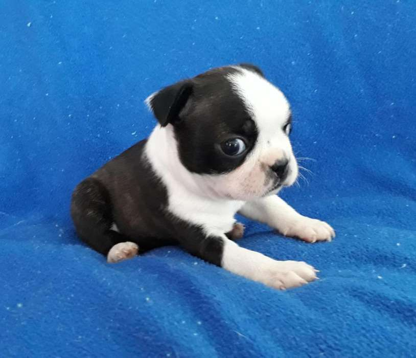 LINDOS CACHORROS BOSTON <strong>terrier</strong> DISPONIBLES 3168688529