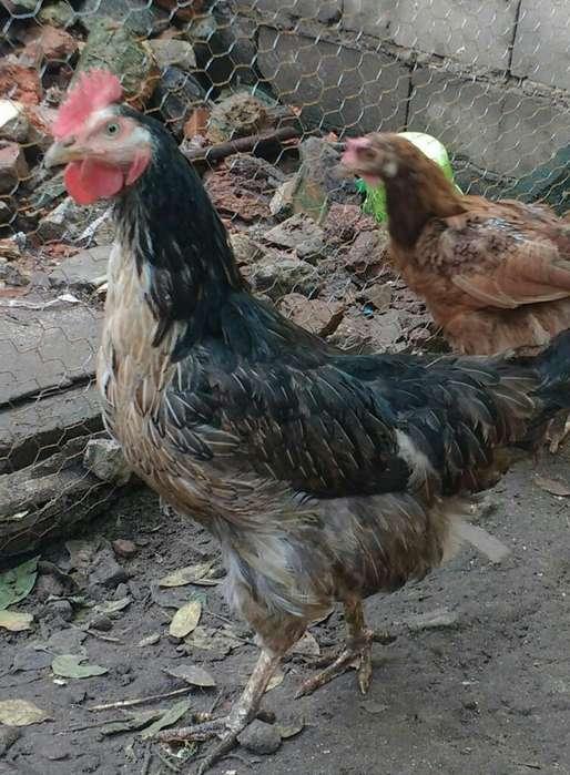 Gallina,gallo Y Pollo/a 5meses