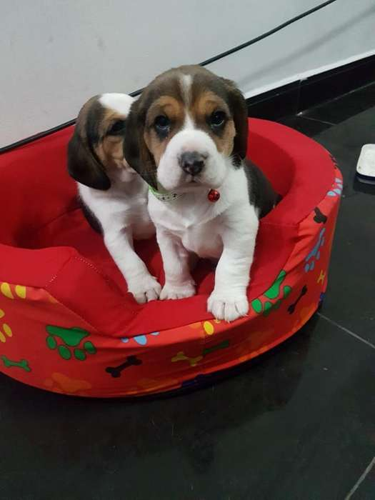 Vendo Beagles Tricolor