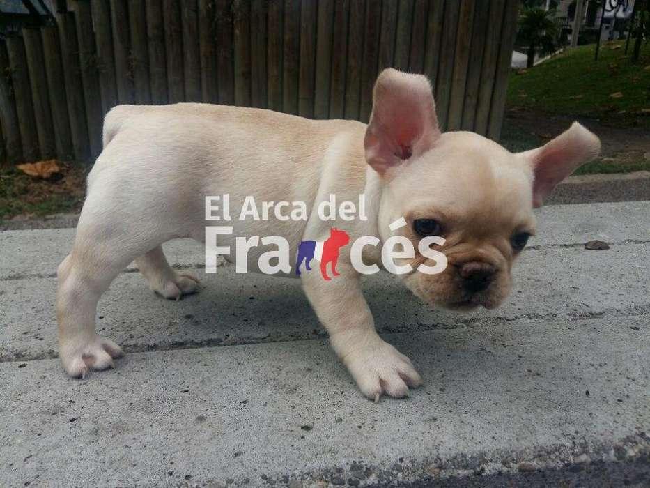 Cachorros Bulldog Frances Crema Macho 1.100.000