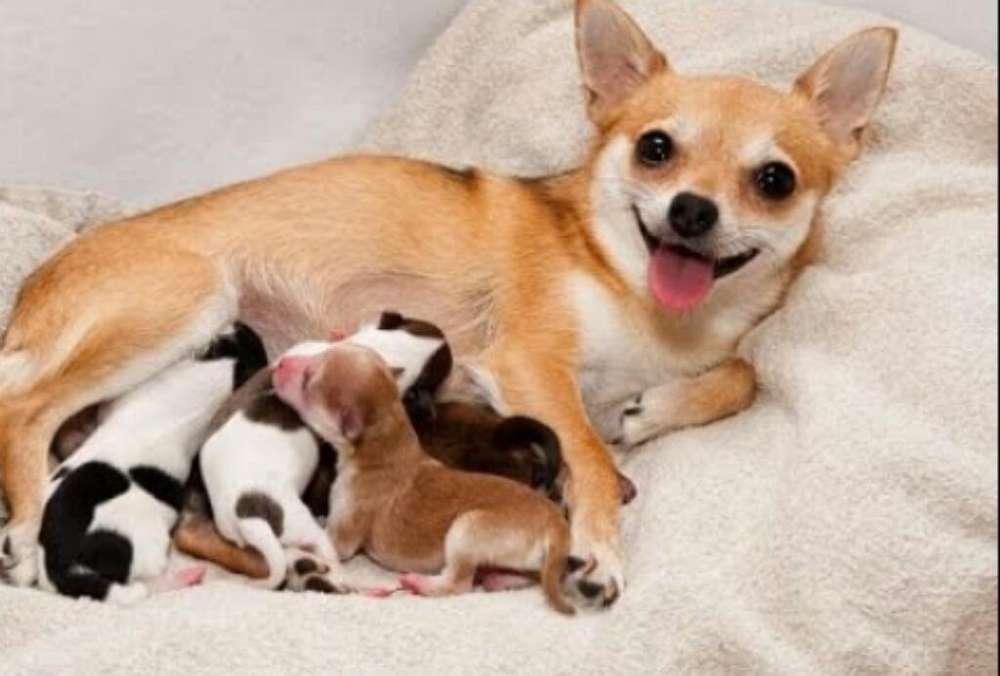 Chihuahuas para Reseravas
