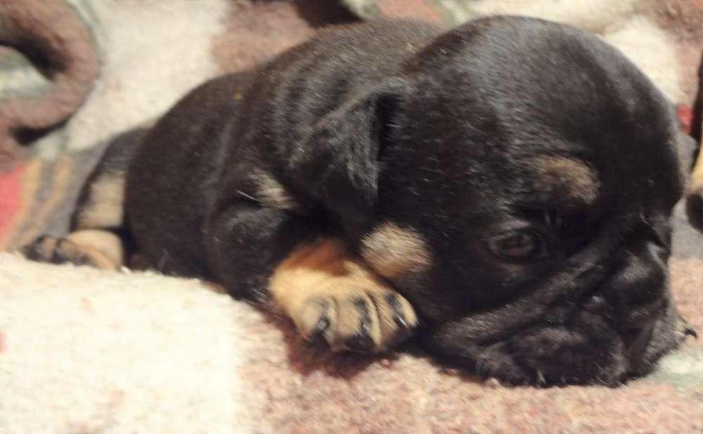 bulldog frances blacktri, gen blue an tan