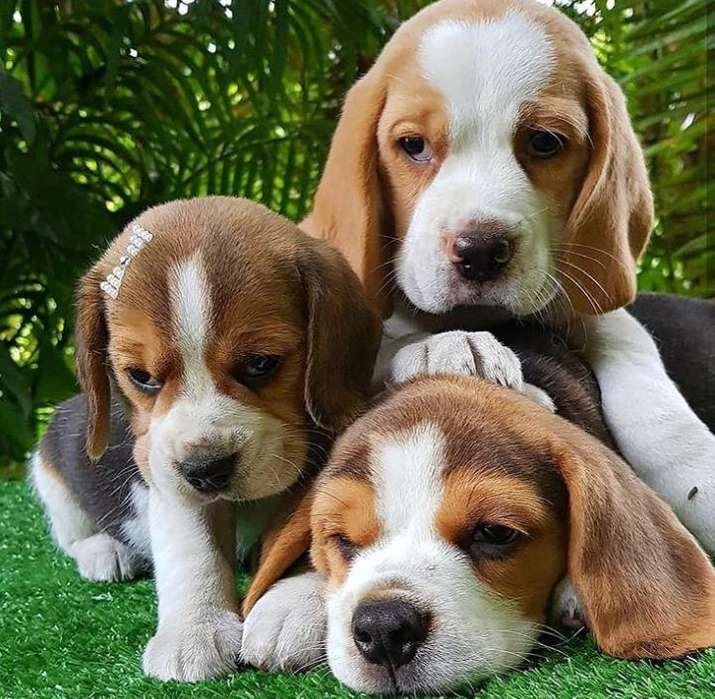 */<strong>beagle</strong> Tricolor*/