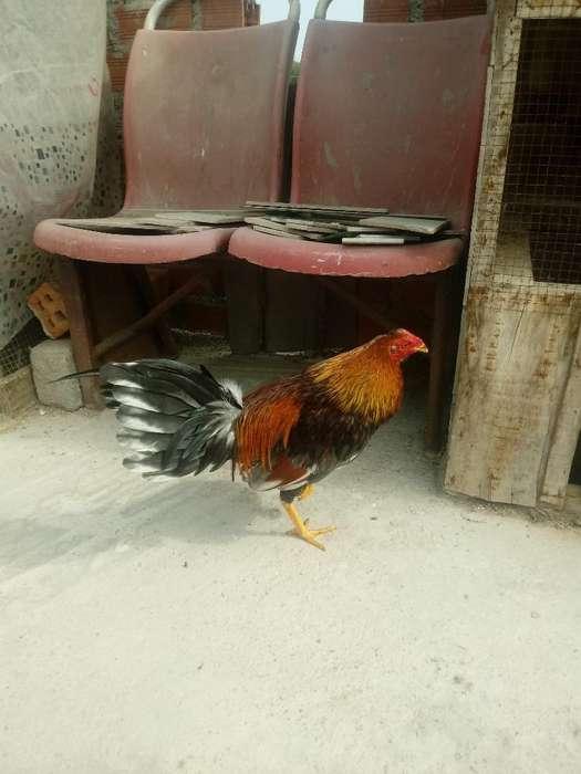 Vendo Pollo de 6 Meses por Falta de Espa