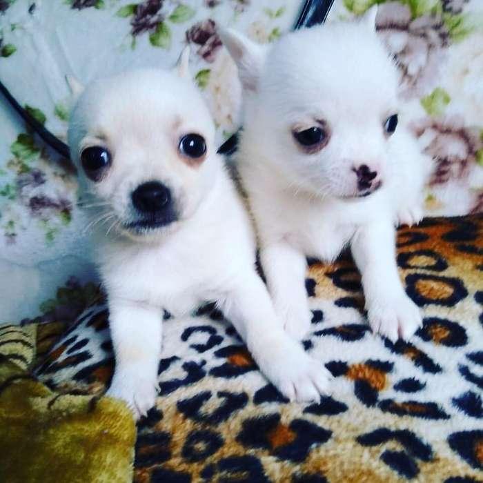 Chihuahuas Blancos Machos