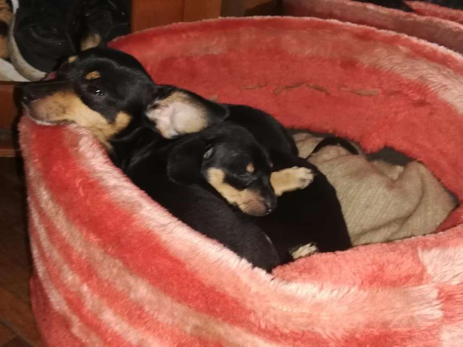 Lindos Cachoritos Pinscher
