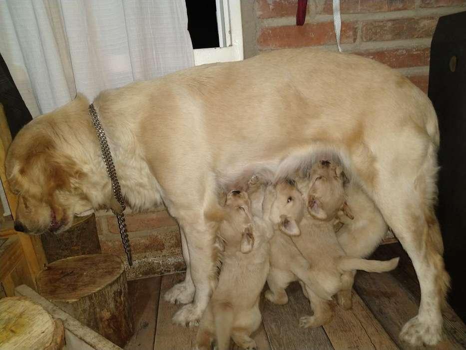 Vendo Cachorros de Golden Retriever