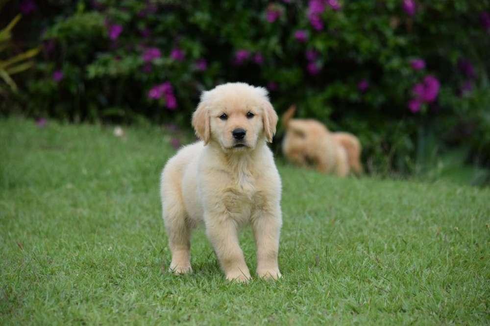Golden Retriever de Cancan Mascotas