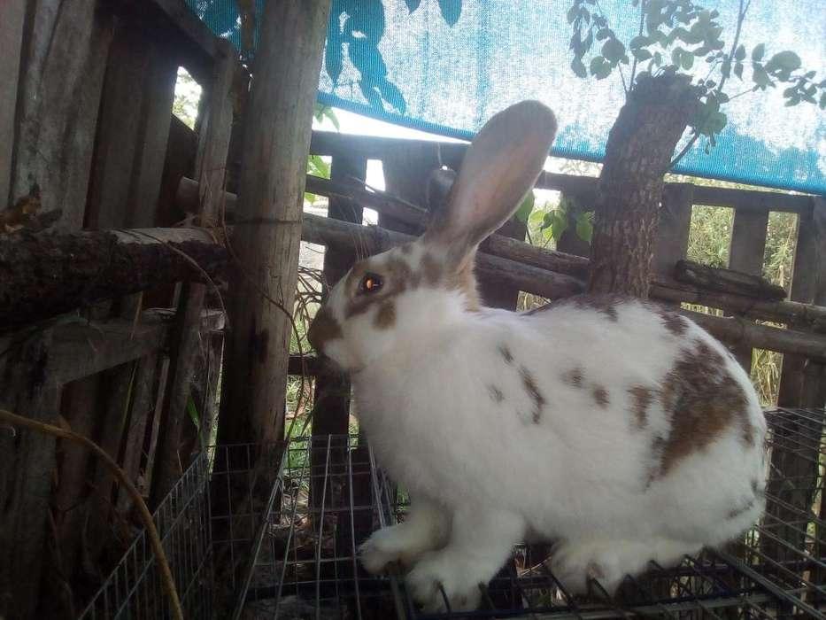 Vendo conejo ,macho