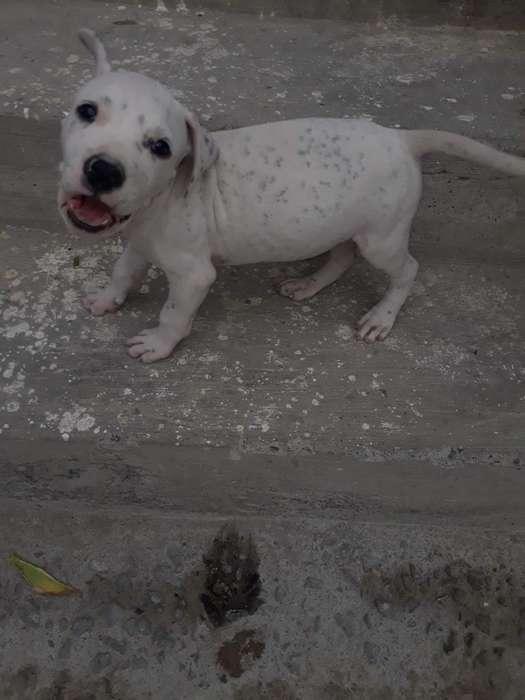 vendo <strong>cachorro</strong> pitbull