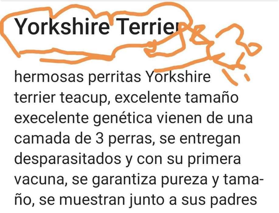 Yorkshire <strong>terrier</strong> de Pura Raza M Y H