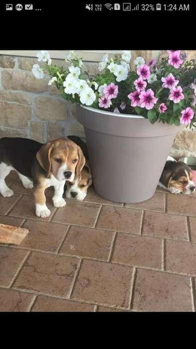 <strong>beagle</strong>s Hermosos Torbellinos