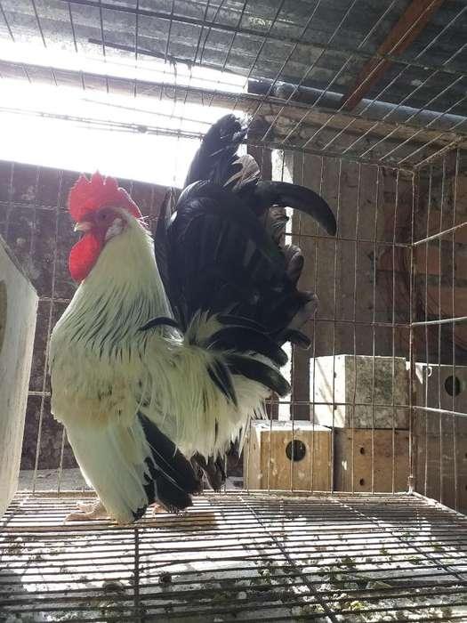 <strong>pollos</strong> Nagasaki Y Conchinchina