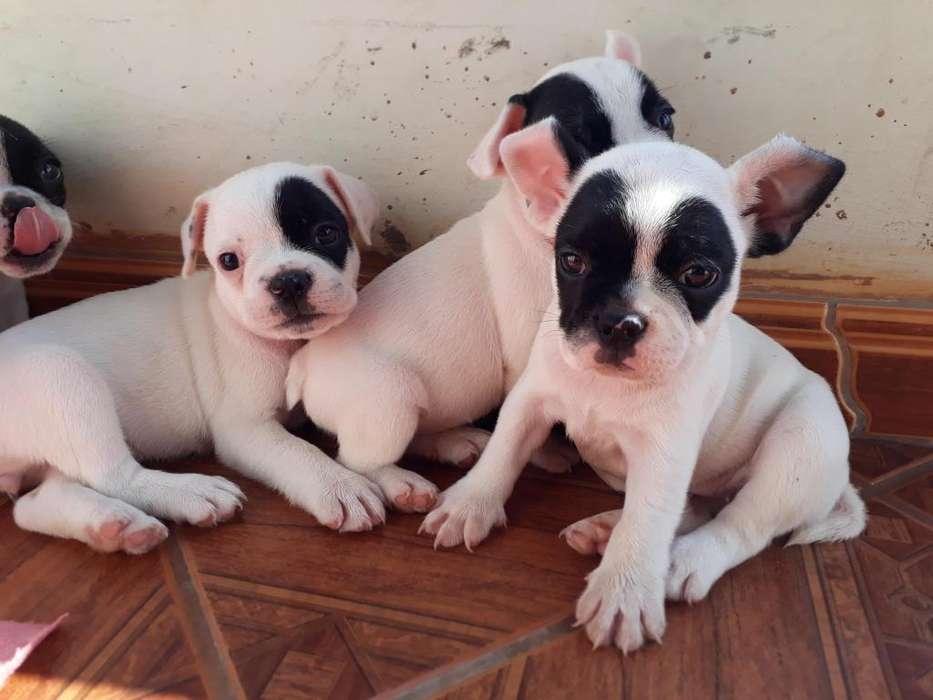 bulldog frances, info al whaspp 961860924