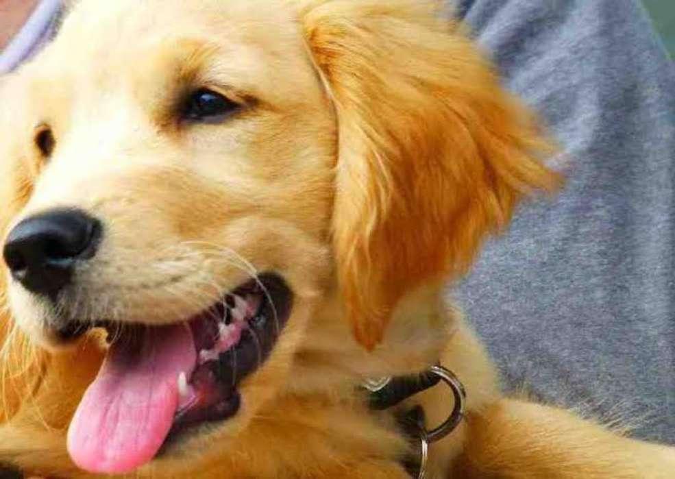 Vendo Cachorra Golden Retriever
