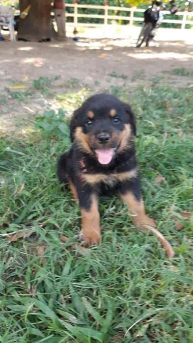 <strong>cachorro</strong> Rottweiler