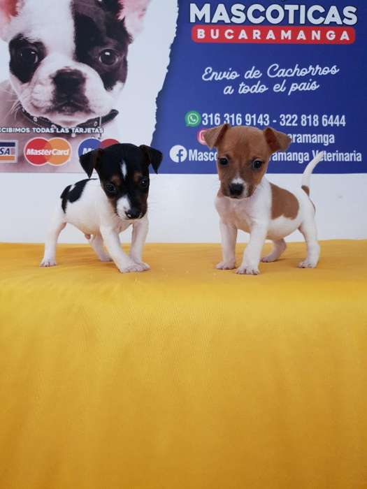 Cachorros en Venta Jack Russell <strong>terrier</strong>s