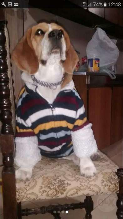 Perro Beagle Busca Novia