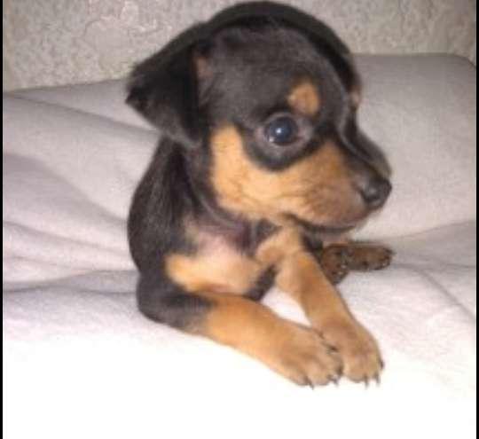 Cachorritos pinscher inf 0995335611