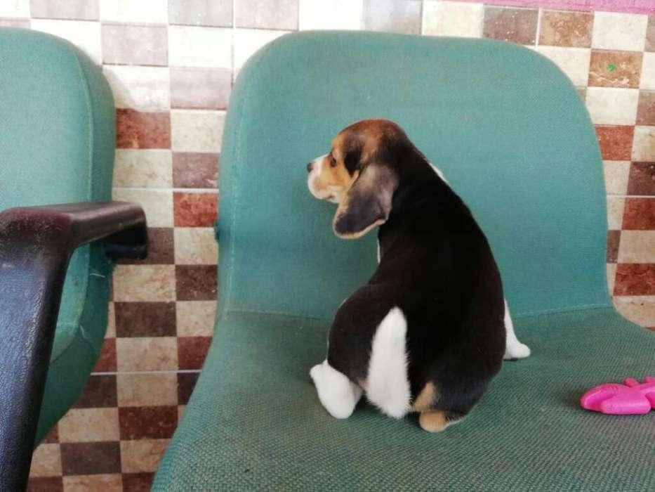 Cachorros <strong>beagle</strong>s de Orejitas Sanitos Dx