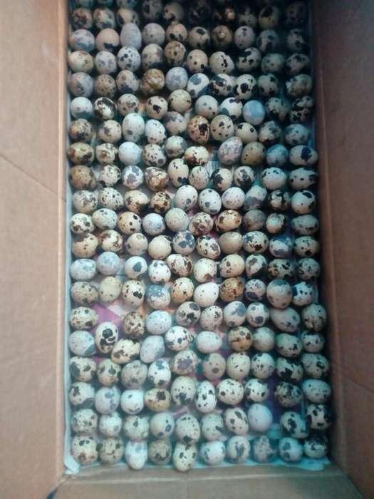 Caja Millar Huevos de Codorniz Frescos