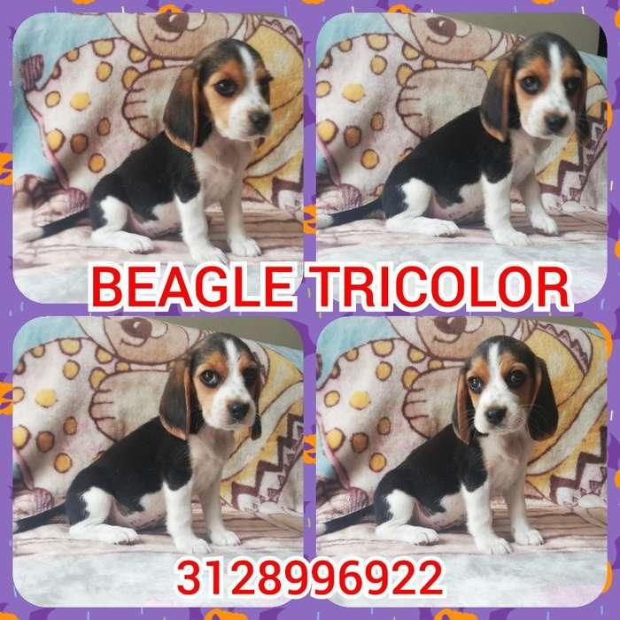 Beagle de Exposición