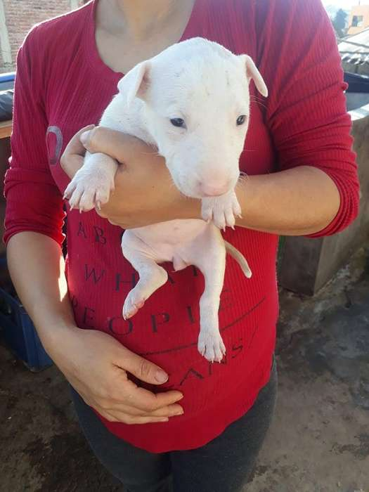 <strong>cachorro</strong>S BULL TERRIER PUROS EXCELENTE GENETICA