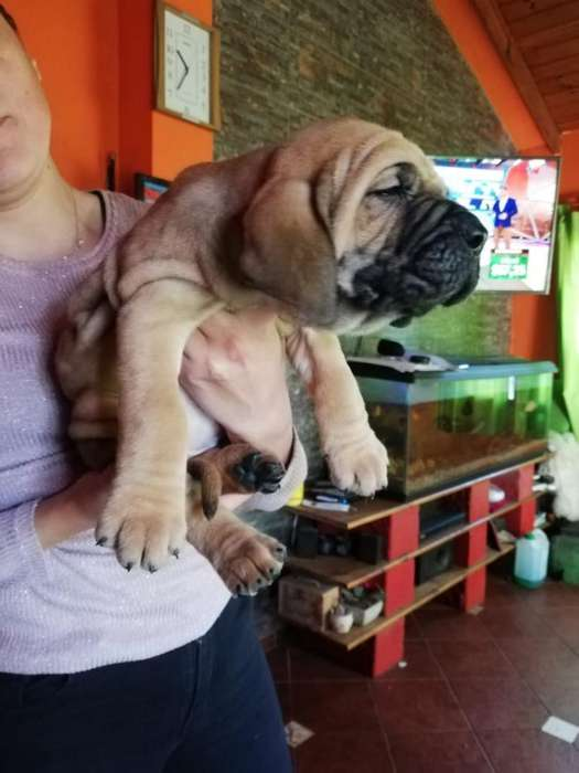 <strong>cachorro</strong>s Fila Brasilero