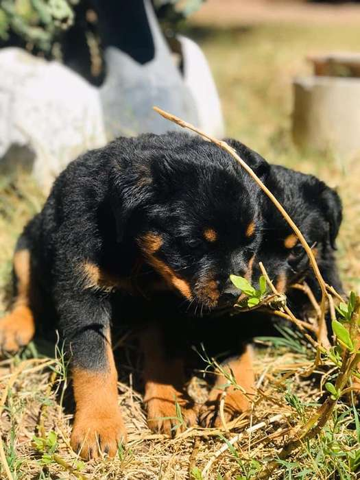 <strong>rottweiler</strong>s Criadero Angel Protector