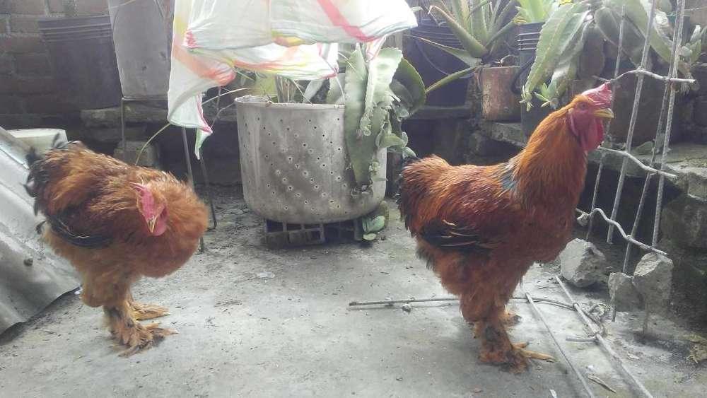 excelentes ejemplares gallos raza cochinchino