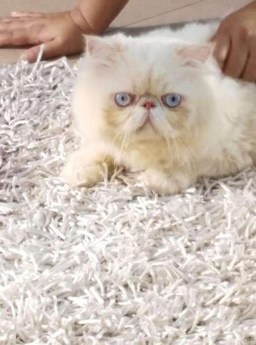 vendo mis hermosos <strong>gato</strong>s persas haga su reserva