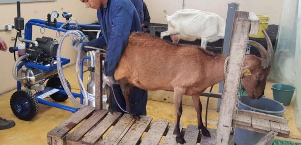 Equipos de ordeño para cabras