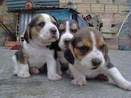 lindos <strong>beagle</strong> mini
