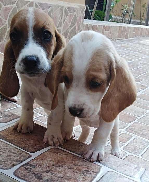 tenemos cachorros en venta de basset hound