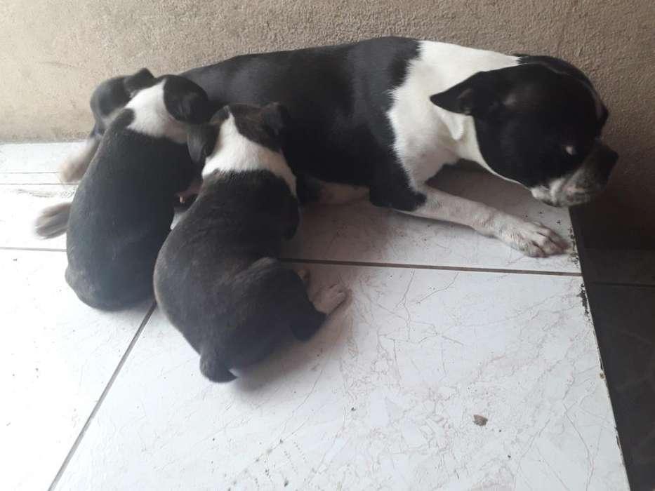 Vendo <strong>cachorro</strong>s Boston Terrier Puros