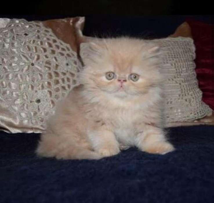 Hermosos Gatos Persas Extremos
