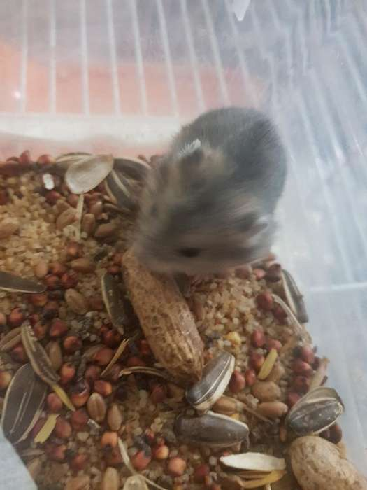 Hamster Ruso Enano