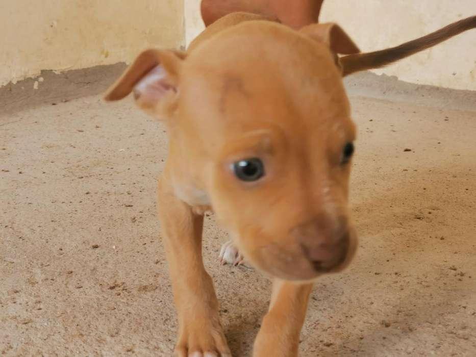 Venta de Perros Pitbull Blue