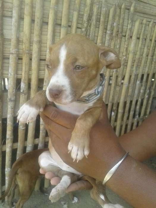 Pitbull <strong>cachorro</strong>s Puros