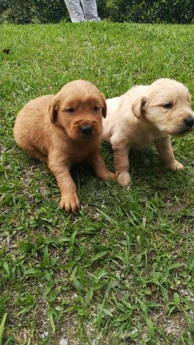 Espectaculares Cachorros Golden Retrieve