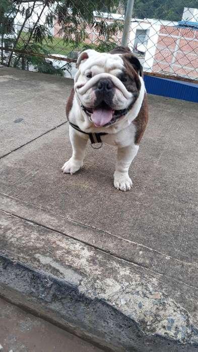 <strong>bulldog</strong> para Monta