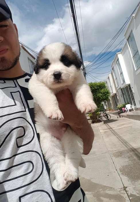 Vendo hermoso cachorro San Bernardo