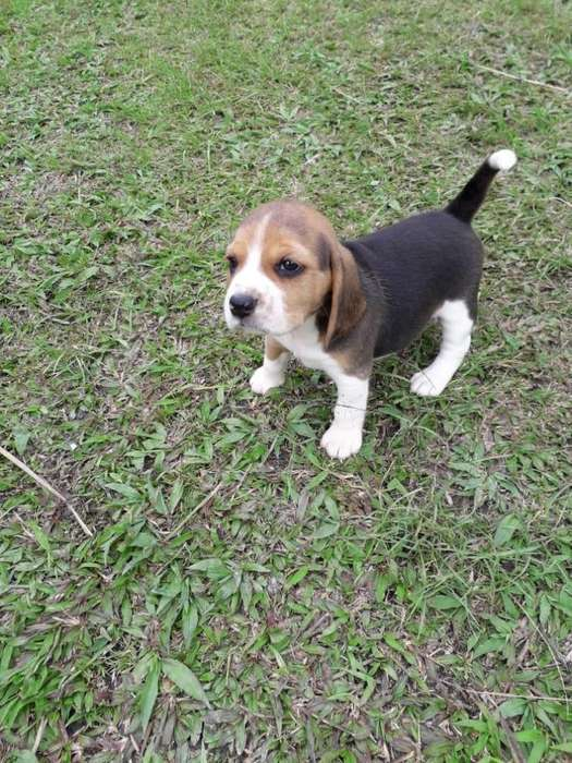 <strong>beagle</strong> enanos hermosos