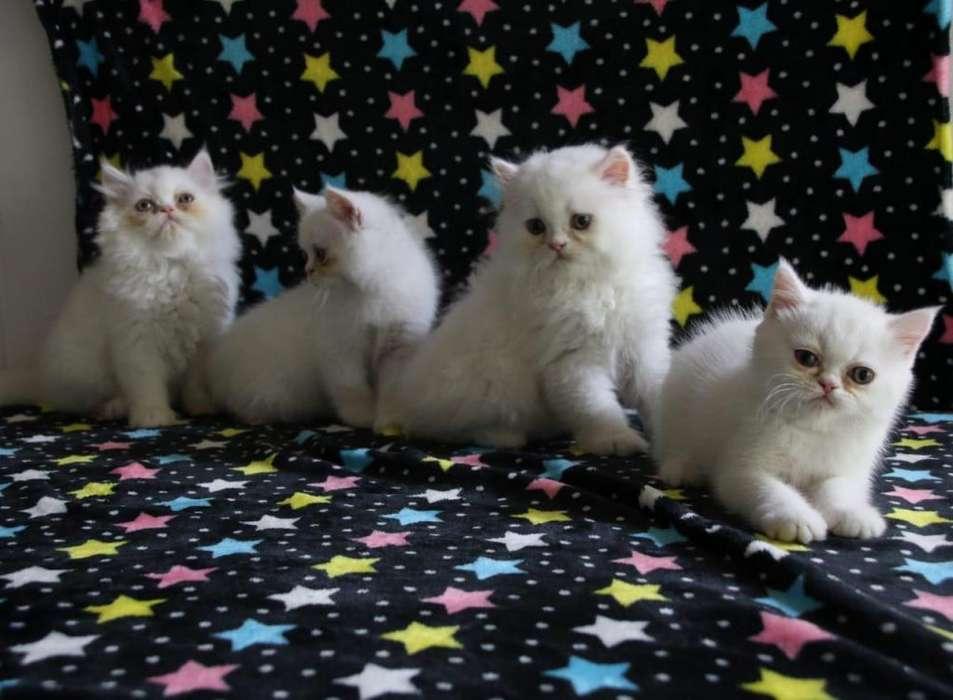 Llévate un hermoso gato persa. Listo para entregar