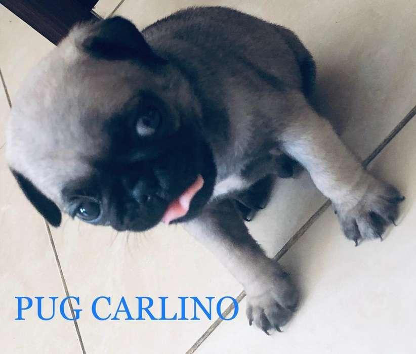 Vendo <strong>cachorro</strong>s Pug Carlino
